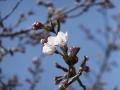 sakura-sakihajime2-web300.jpg