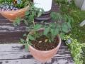 tomato-planter-web300.jpg