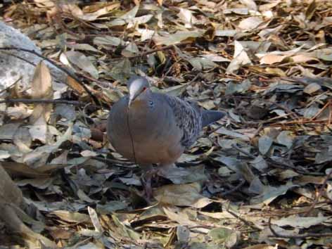 キジバトの営巣0420-11