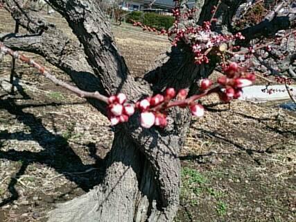 近所の梅の木1