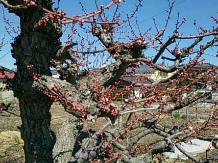 近所の梅の木2