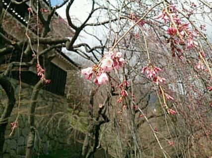 まだ桜が咲いてない散歩1