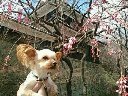 まだ桜が咲いてない散歩2