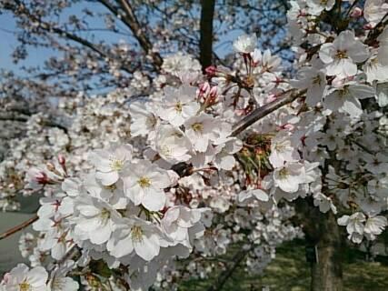 14.4.13上田城の桜1