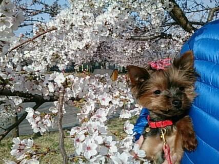 14.4.13上田城の桜2