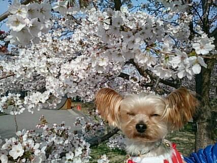 14.4.13上田城の桜3