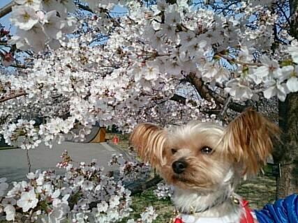 14.4.13上田城の桜4