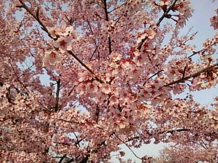 14.4.13上田城の桜7