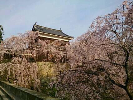 14.4.13上田城の桜8