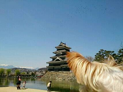 松本城にお花見1