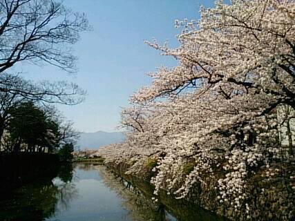 松本城にお花見5