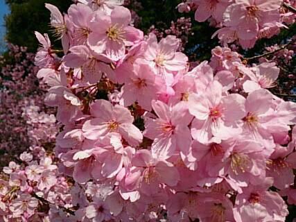 上田城の桜1