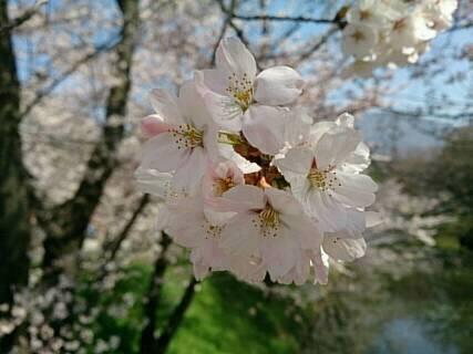 う上田城の桜2