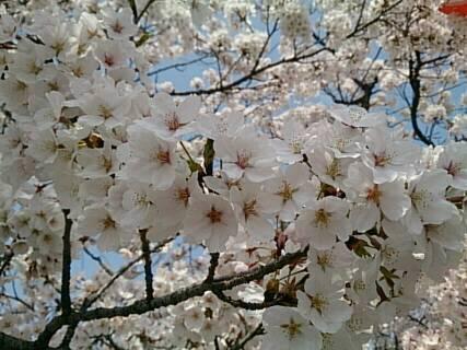 長野市城山の桜2