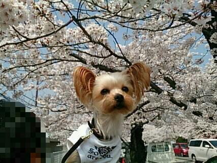 長野市城山の桜モザイク1