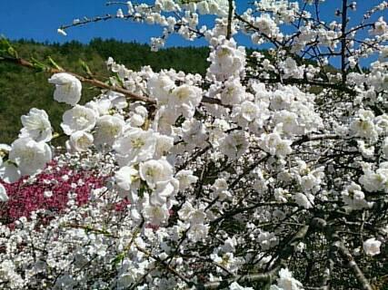 14.5.2花桃を見に行ったよ2