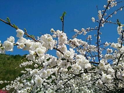 14.5.2花桃を見に行ったよ3