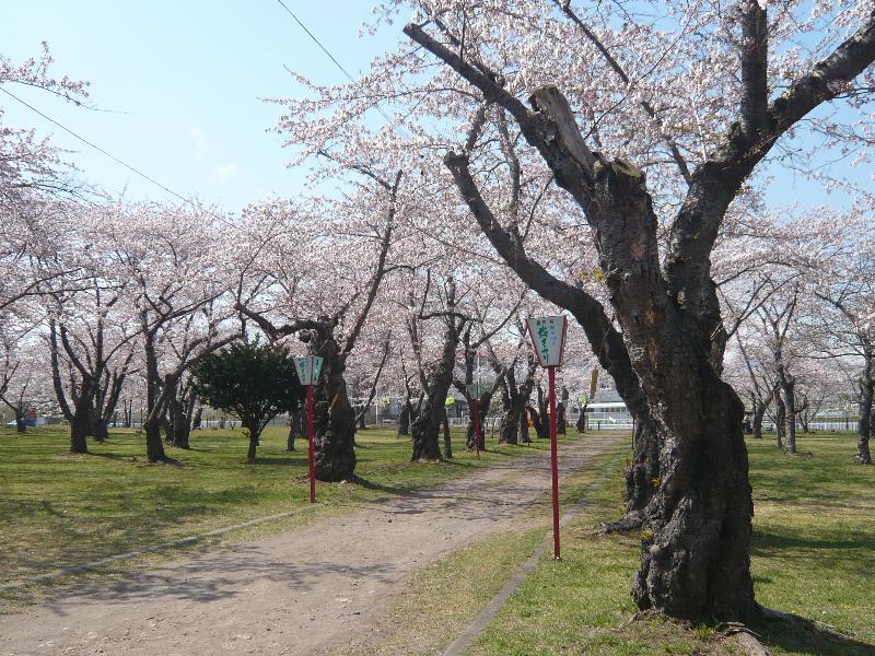 5-4桜祭り