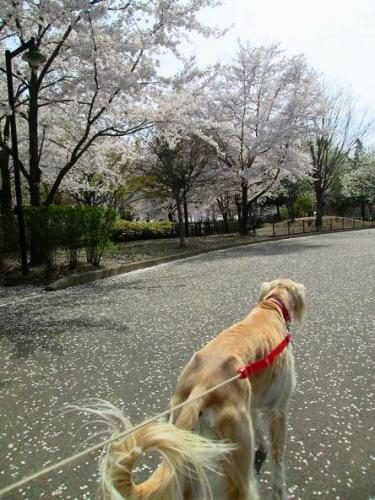 2014桜満開4