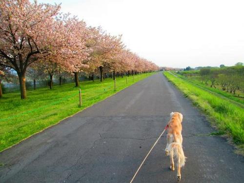 8キロの桜並木10