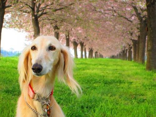 8キロの桜並木1