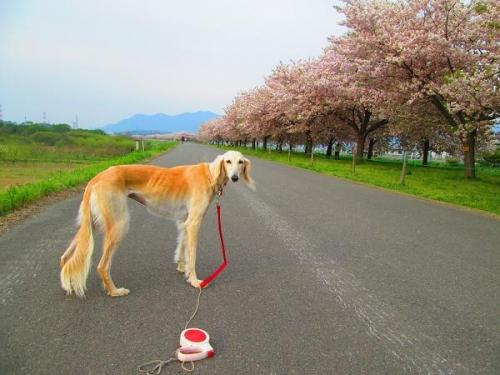 8キロの桜並木2