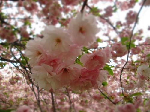 8キロの桜並木3