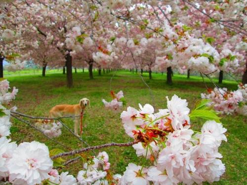 8キロの桜並木4
