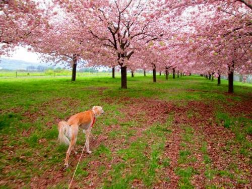 8キロの桜並木5