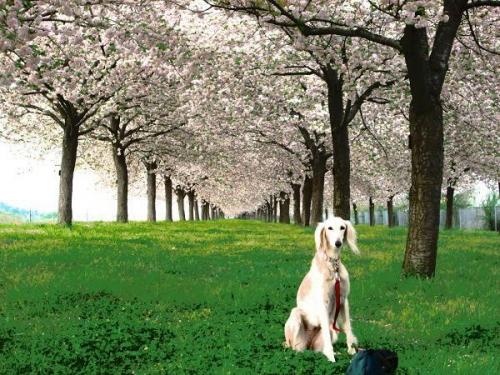 8キロの桜並木6