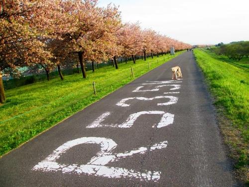 8キロの桜並木9