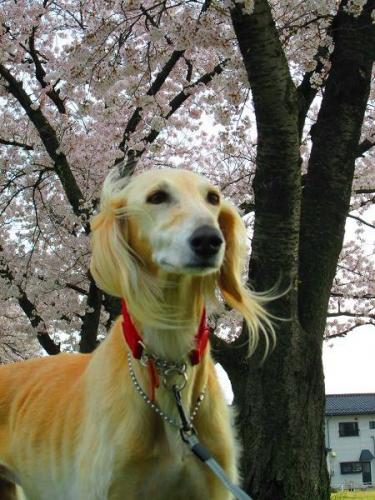 2014桜満開1