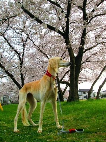 2014桜満開2