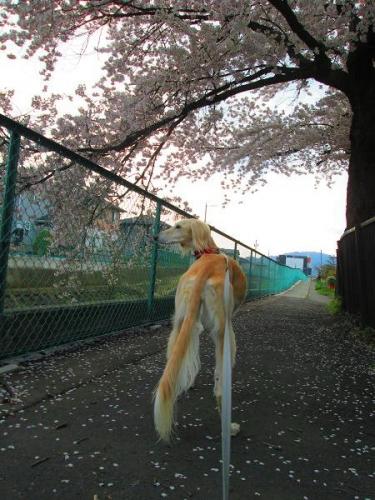 2014桜満開3