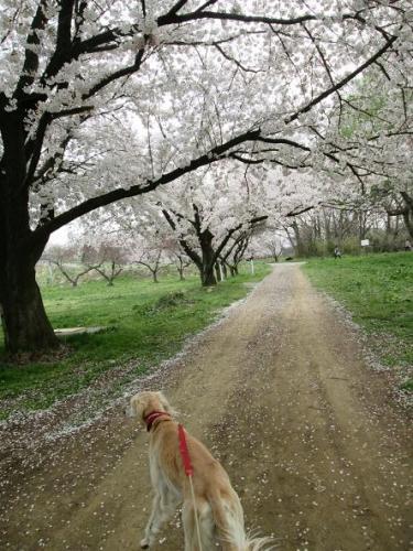 2014桜満開5