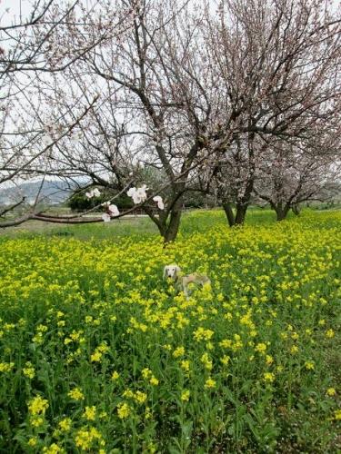 2014桜満開6