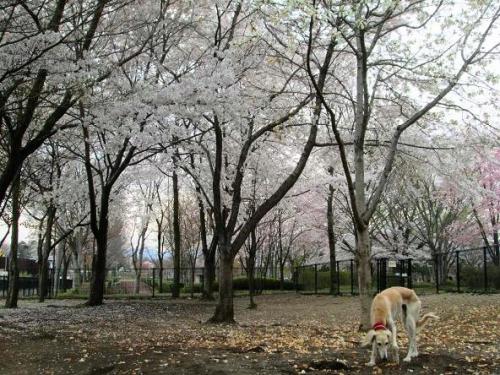 2014桜満開8
