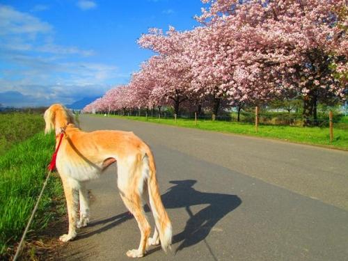 山の桜里の桜11