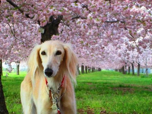 山の桜里の桜12