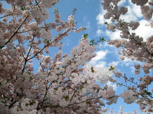 山の桜里の桜15