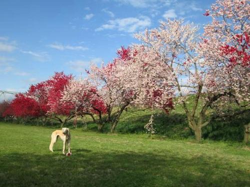 山の桜里の桜16