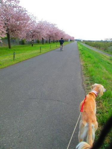 山の桜里の桜18
