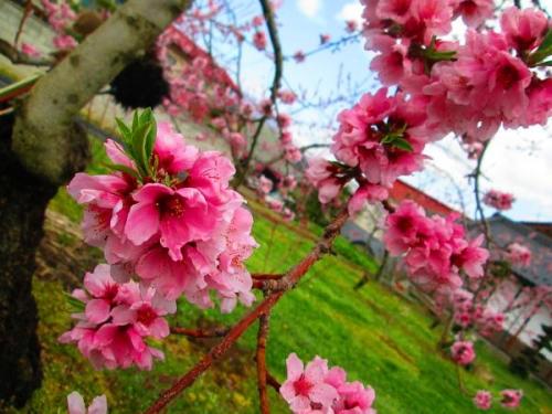 山の桜里の桜19