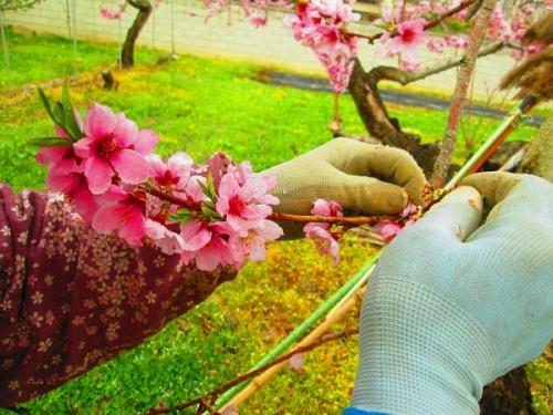 山の桜里の桜22