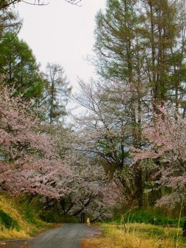 山の桜里の桜2