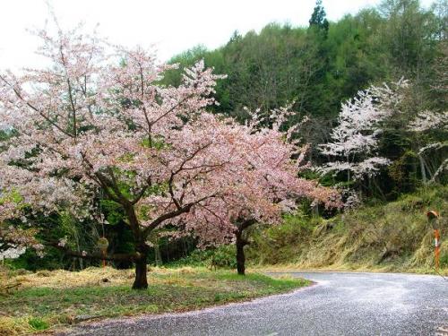 山の桜里の桜3