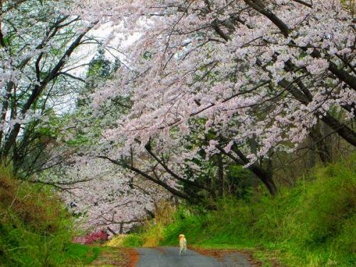 山の桜里の桜4