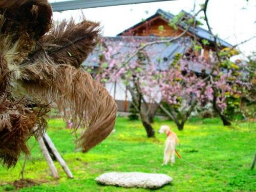 山の桜里の桜6