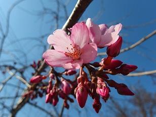 3-24枝垂桜3e