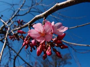 3-24枝垂桜e